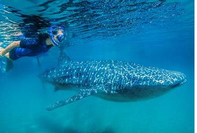 Whale Shark Encounter-52