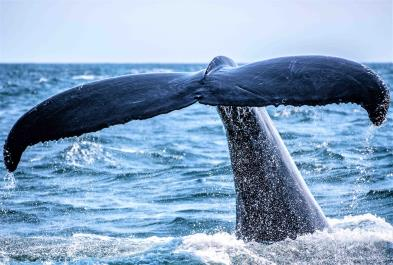 Majestic Whale Watching - Los Cabos sightseeing and activities