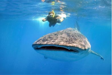Tours in Cancún and Riviera Maya Whale Shark Experience